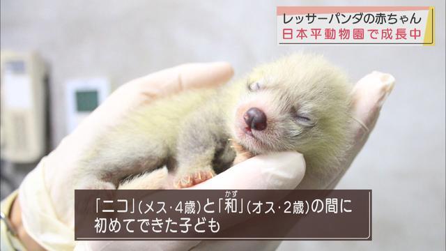 画像: レッサーパンダの聖地「日本平動物園」 赤ちゃんレッサーパンダすくすく育ってます 静岡市
