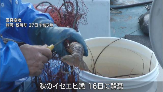 画像: 500グラムの大きなサイズも 秋のイセエビ漁で初水揚げ 静岡・松崎町の雲見漁港 youtu.be