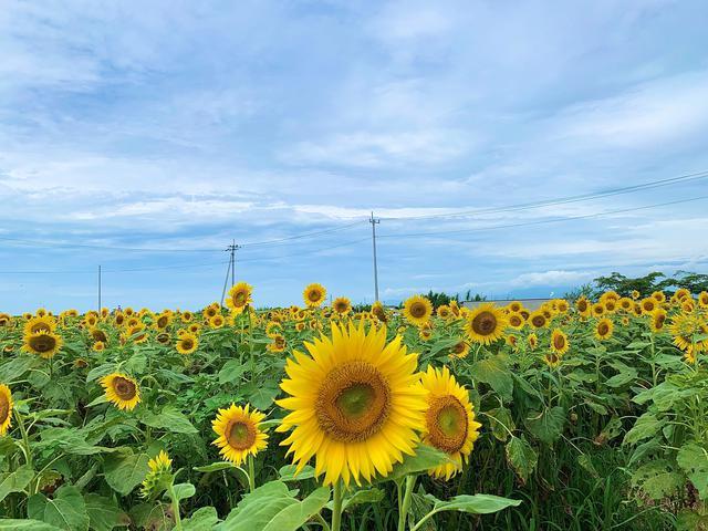 画像1: ひまわり畑