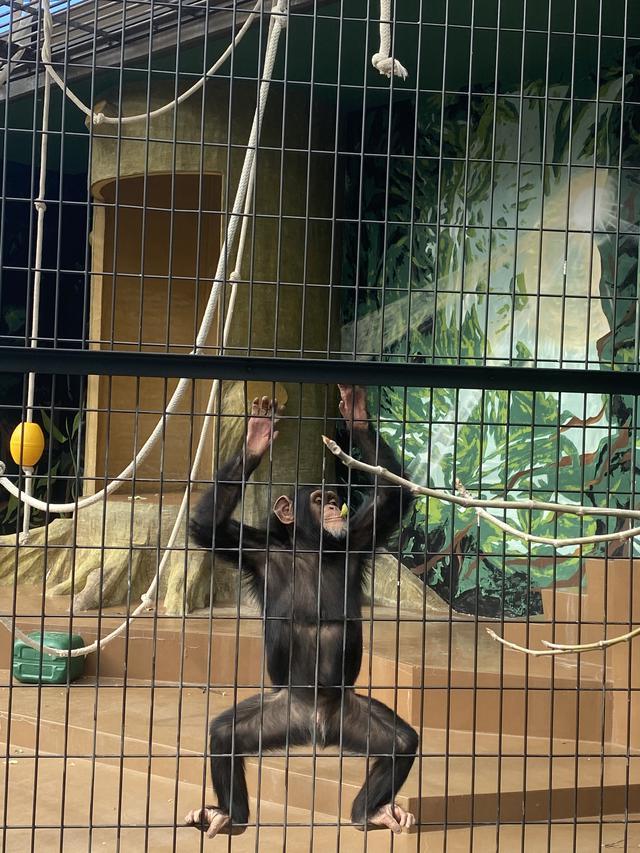 画像: こちらはチンパンジーのげんき。