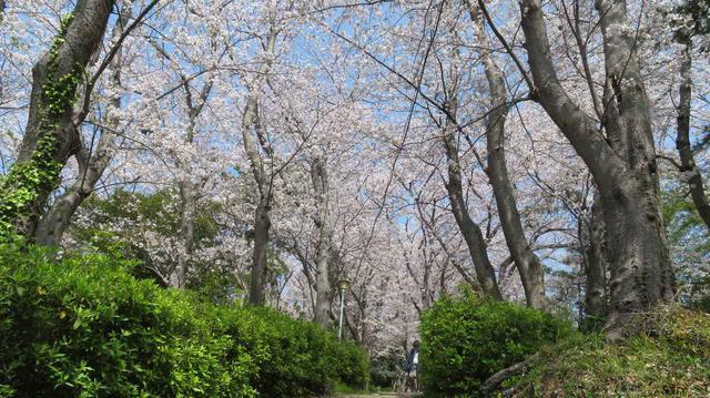 画像4: ワタベザクラ 開花&満開!