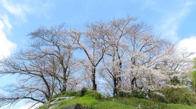 画像3: ワタベザクラ 開花&満開!
