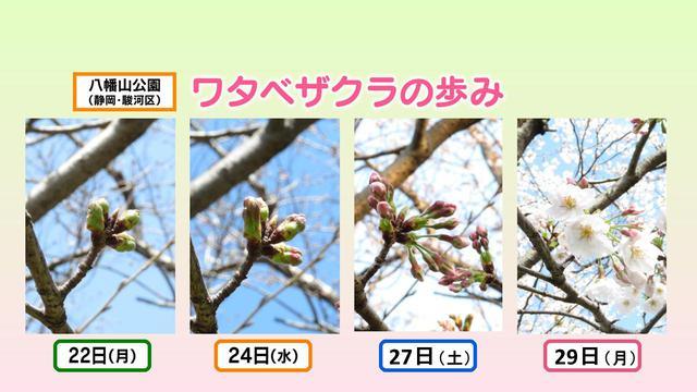画像1: ワタベザクラ 開花&満開!