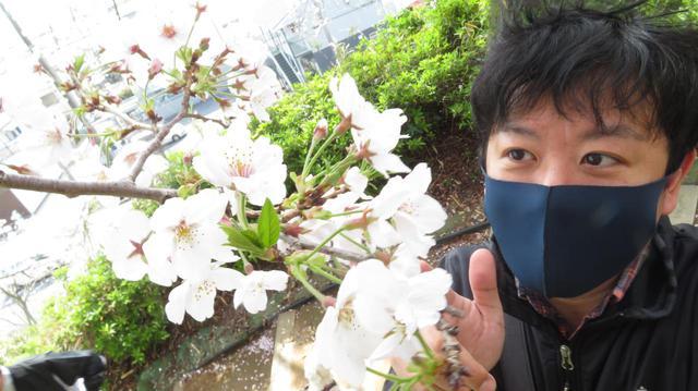 画像: ワタベザクラのある八幡山公園(静岡市駿河区)※これはワタベザクラではありません。