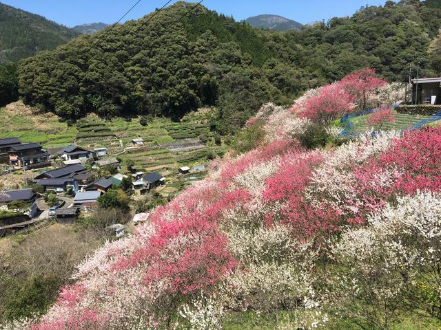 """画像: 2017年、高知県。これは""""上久喜の花桃""""だったかと思います。山奥にある桃源郷。高知には日本の本物の秘境が存在します。昔話のような世界や言葉が、確かに残っているのです。"""