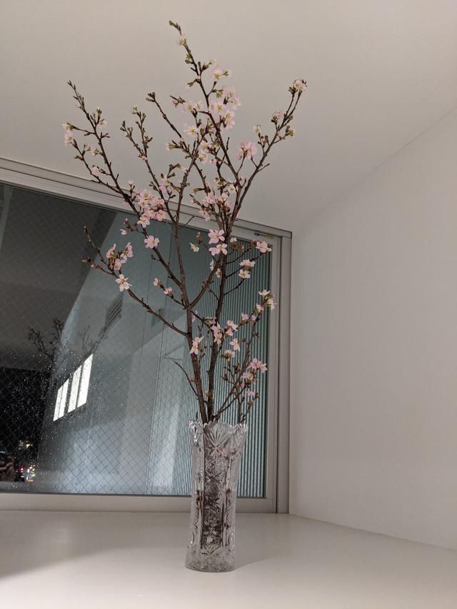画像: 去年「ニュースのまど」でお伝えした「うち花見」。スタジオからの生放送でお見せするため、社内に生けた桜です。