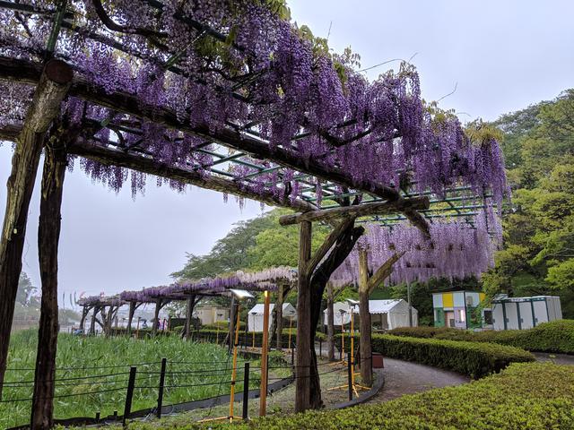 画像: 2019年、静岡1年目。雨の蓮華寺池公園。しっとりとした美しさの藤を中継でお伝えしました。