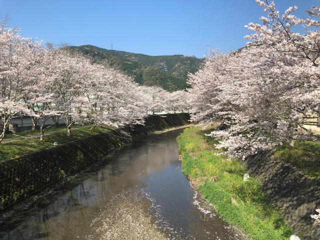 画像2: 見頃を見逃し・・・見事な「葉桜」
