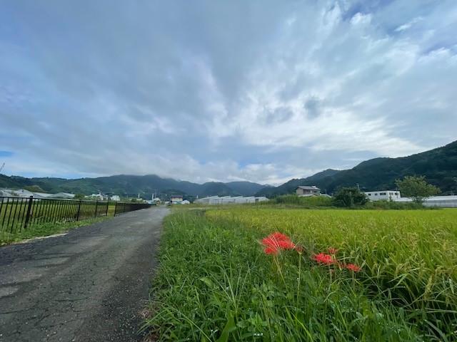 画像: 静岡市の郊外にて、こうべを垂れる稲穂と彼岸花