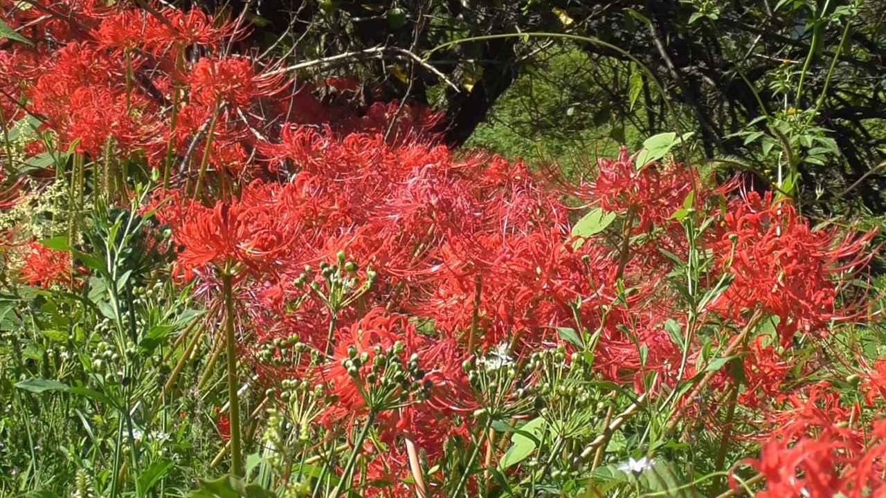 画像3: お彼岸の花といえばヒガンバナ