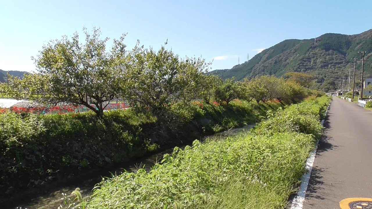 画像2: お彼岸の花といえばヒガンバナ
