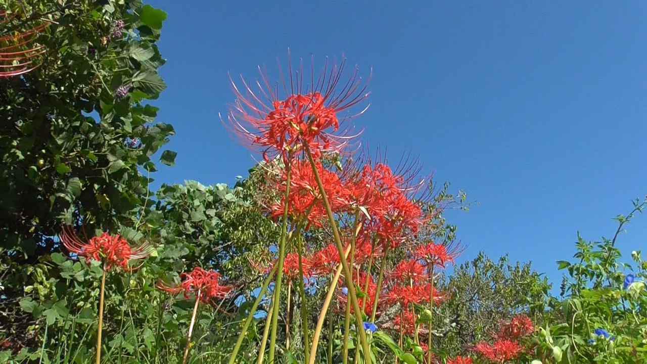 画像4: お彼岸の花といえばヒガンバナ