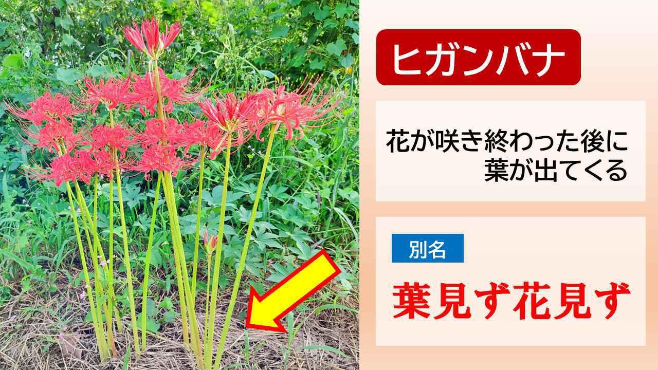 画像5: お彼岸の花といえばヒガンバナ