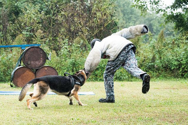 画像: 「襲撃訓練」では、逃亡しようとする不審者役の隊員を、ハンドラーの命令で警備犬が襲撃する。1度、腕にかみついた犬は、ハンドラーが「アウト!」の命令を出すまで、決して離すことはない。実は不審者役を演じる隊員は、突進の勢いをうまく受け流すなど、テクニックを駆使している。受け方がよくないと犬が首を傷めてしまい、以後の訓練や任務に支障を来すリスクもある