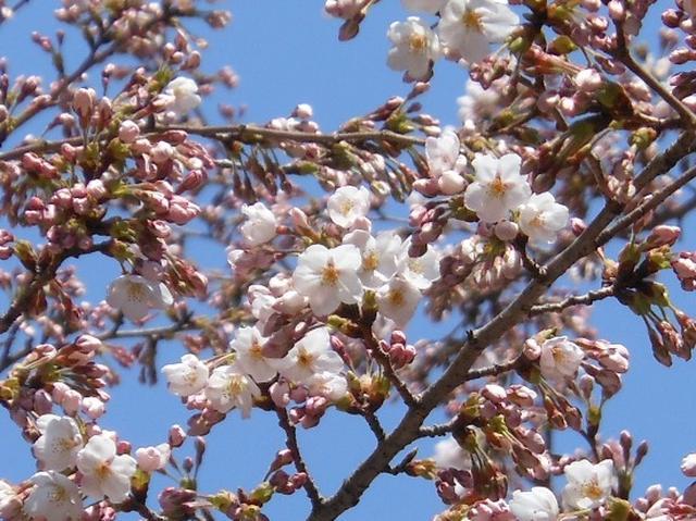 4月9日TOYO TIRES ターンパイク桜開花状況2.JPG