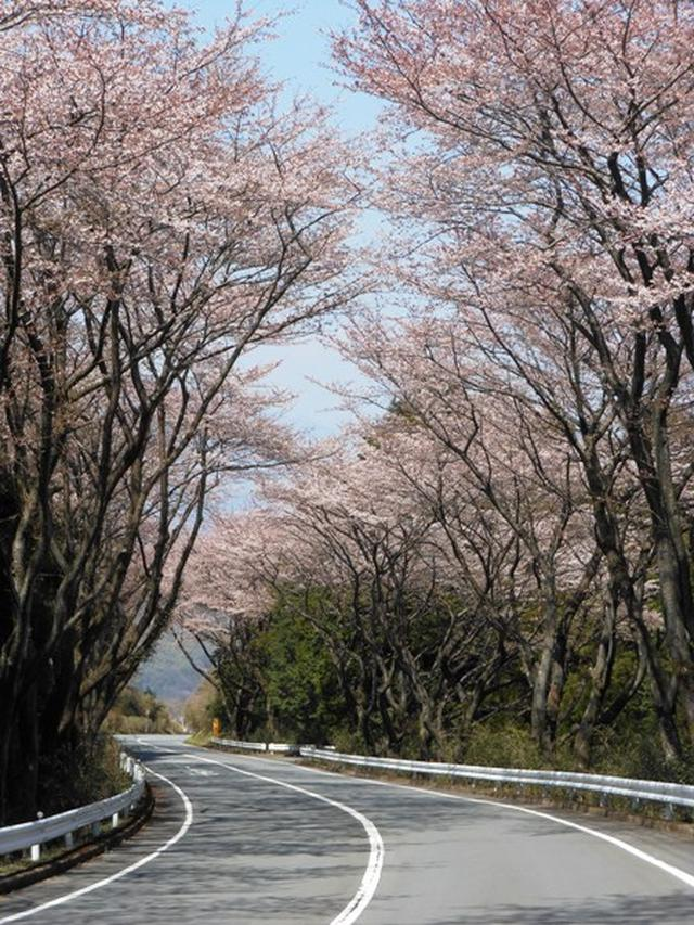 TOYO TIRES ターンパイク桜開花状況4月9日.JPG