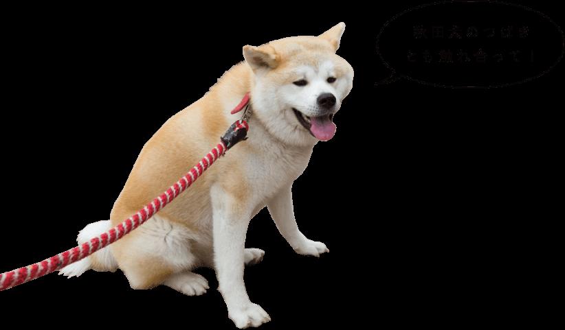 秋田犬のつばき