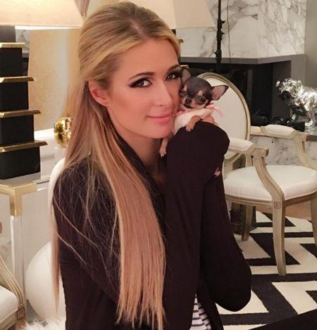 パリス・ヒルトン Paris Hilton ティーカップ・チワワ 犬 11匹目 ドギーマンション