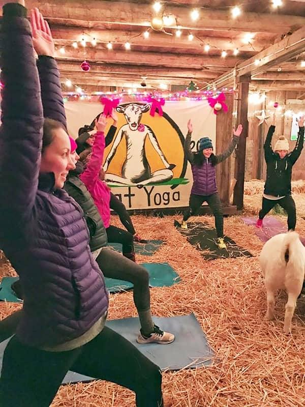 Goat Yoga ヤギヨガ